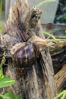Achatina Fulica, Large Agate Snail, Snail, Mollusk