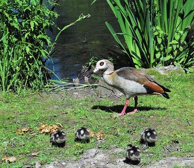 Nilgans, Bird, Alopochen Egypt, Goose, Gaensekuecken