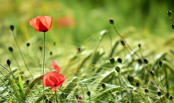 Poppy, Back Light, Flower, Blossom, Bloom, Red, Orange