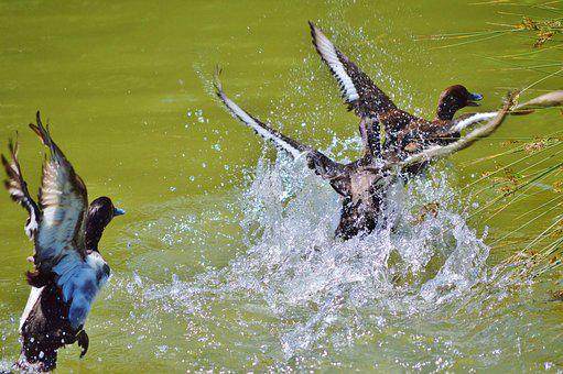 Duck, Water Bird, Mallard, Duck Bird, Pond, Bird, Water