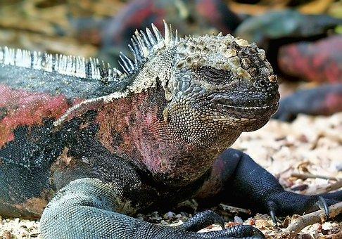 Marine, Iguana, Galapagos, Lizard, Ecuador, Animal