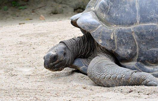 Giant Tortoise, Wildlife, Shell, Reptile, Endangered