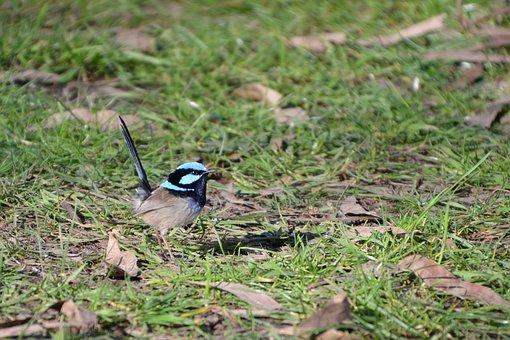 Wren, Blue Wren, Fairy Wren, Bird, Wildlife, Australia
