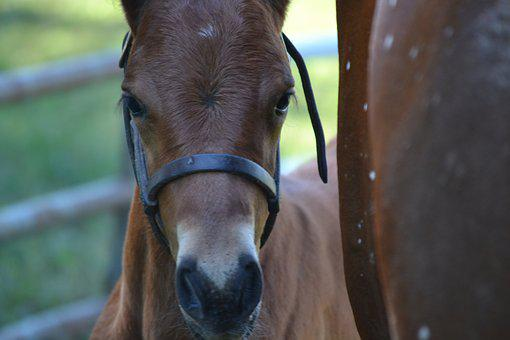 Equine, Horse, Foal, Colt, Animal, Farm, Nature, Mammal