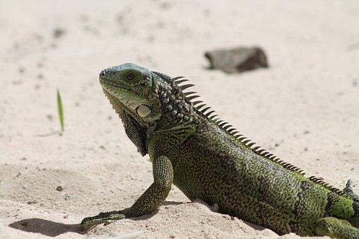 Lizard, Nature, Fauna, Reptile, Skin, Dry