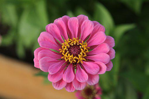 Zinnia, Flower, Blossom, Bloom, Nature, Garden