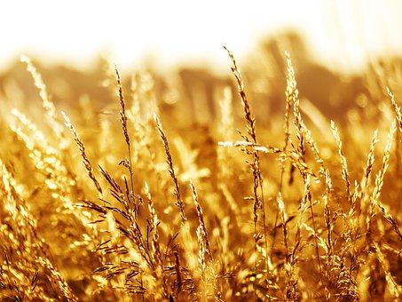 Summer, Grass, Grasses, Nature, Field, Plant