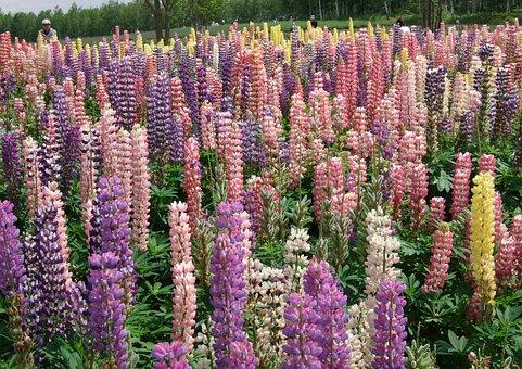 Lu Ice Flower, Lupin, Color, Sea Of Flowers, Hokkaido