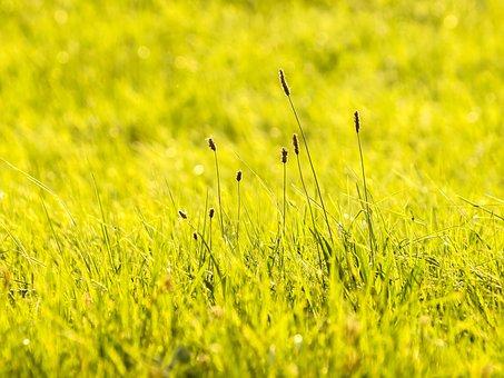 Plantain, Plant, Meadow, Nature, Landscape
