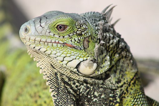 Lizard, Close Up, Dry Skin, Fauna, Nature, Eye