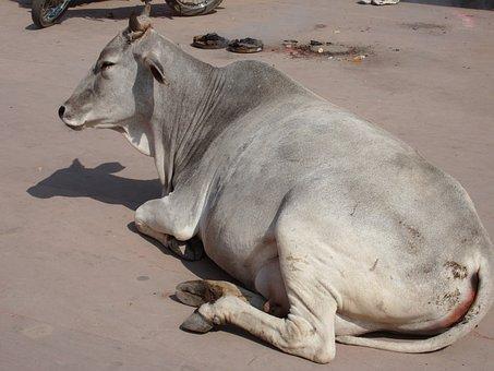 India, Sacred Cow, Lying Down