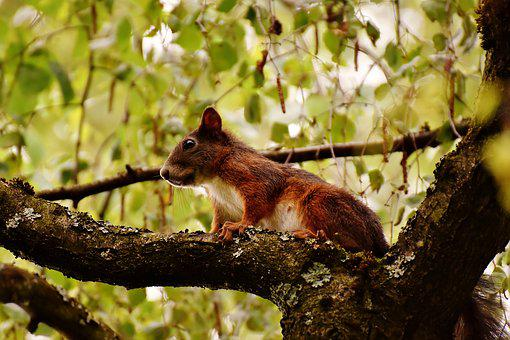 Squirrel, Nager, Cute, Nature, Rodent, Animal, Tree