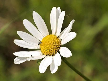 Marguerite, Flower, Plant, Blossom, Bloom, Nature