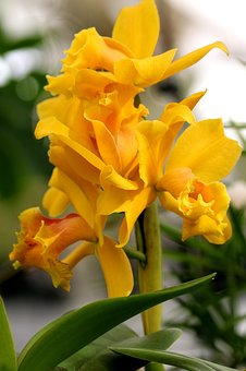 Orchid, Yellow, Flower, Floral, Botany, Plant, Nature