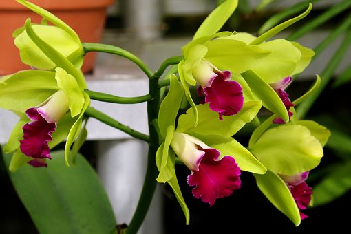 Orchid, Flower, Orchidaceae, Floral, Blossom, Plant
