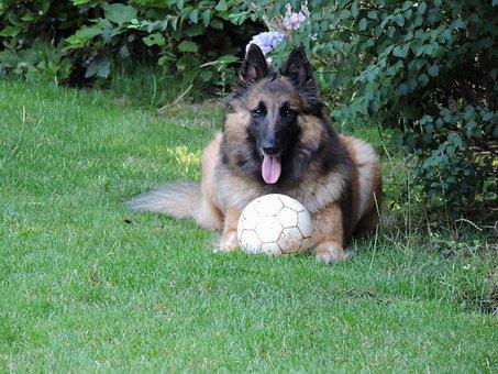 Kyala, Tervuurse, Shepherd, Dog
