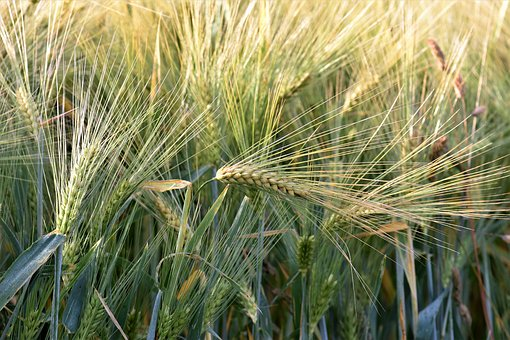 Wheat, Winter Wheat, Agriculture, Fields, Cereals