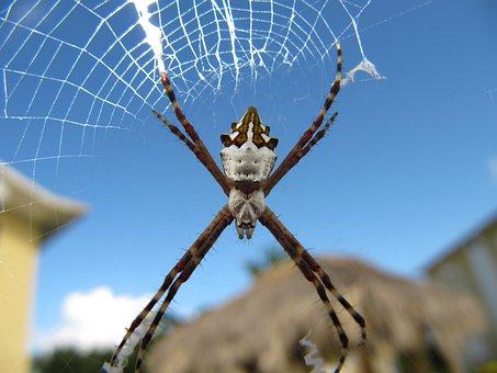 Argiope, Argentata, Spider