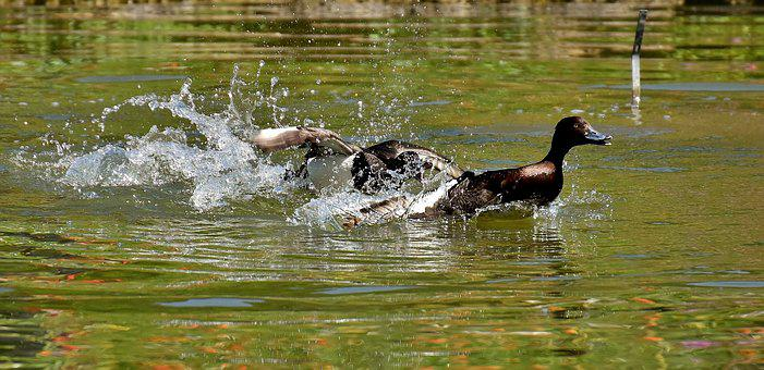 Tufted Duck, Ducks, Play, Action, Cute, Funny, Water