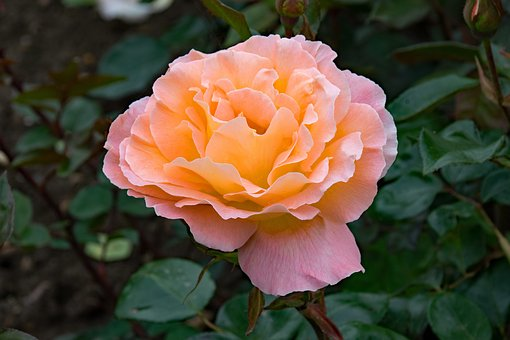 Rose, Rosemary Harkness, Floribunda, Flowers, Pink