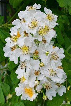 Rose, Ste, Geneviève, Flowers, White, Blossom, Bloom