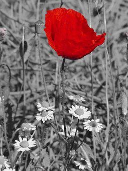 Poppy, Blossom, Bloom, Red, Field, Summer, Black White