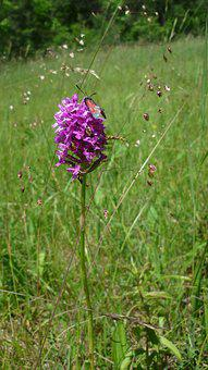 Pyramid Orchis, With Blood Droplets, Small Butterfly