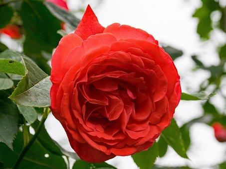 Rose, Papi Delbard, Climbing Rose, Flowers, Red, Orange