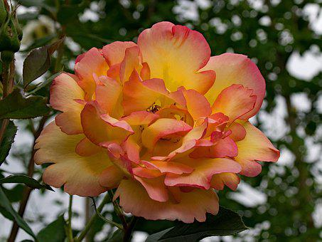 Rose, Parure D'or, Climbing Rose, Flowers, Yellow