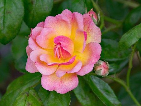 Rose, Professor C, S, Sargent, Climbing Rose, Flowers