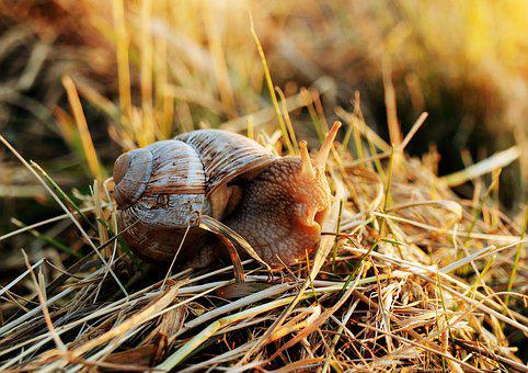 Snail, Shell, Mollusk, Nature, Animal, Crawl, Reptile