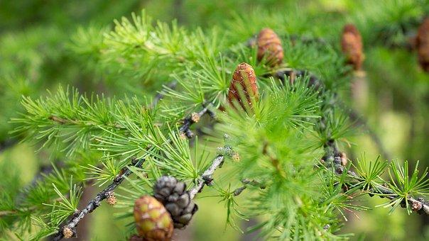 Larch, Greens, Summer, Nature, Tree