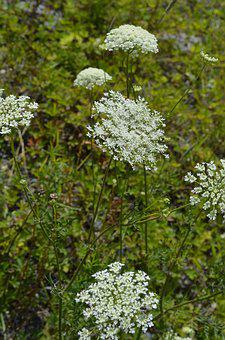 Queen Anne's Lace, Wild Carrot, Flower, Wild, Summer