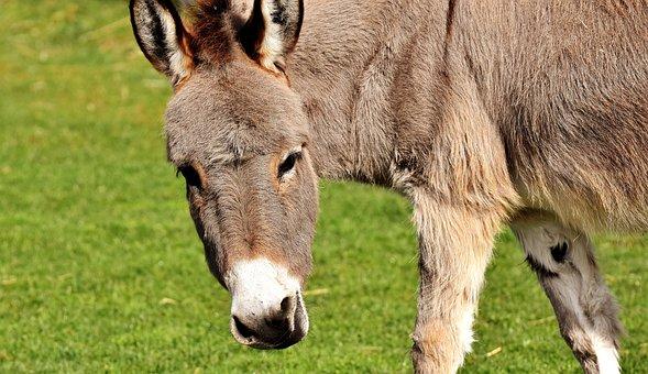 Donkey, Animal, Beast Of Burden, Meadow, Graze, Eat