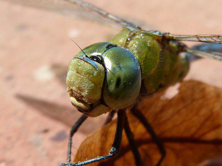 Dragonfly, Blue Dragonfly, Aeshna Affinis