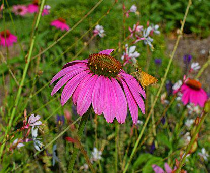 Tawny-edged Skipper, Butterfly, Pink, Echinacea