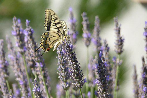 Butterfly, Lavender, Flowers, Nature, Violet, Insects