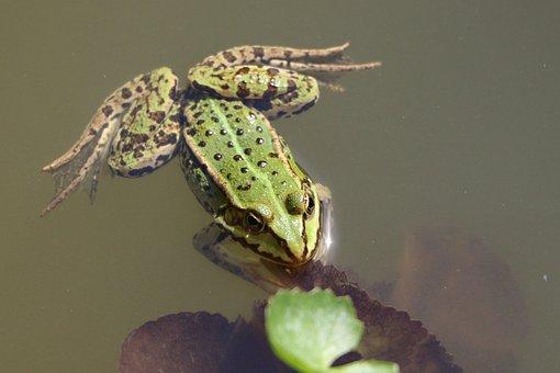 Frog, Common Frog, Green, Amphibian, Pond, Animal