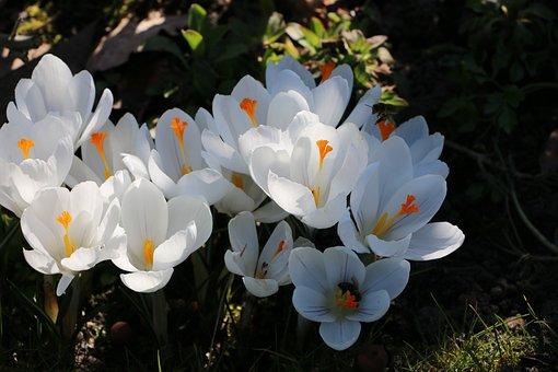 Crocuses, White, Spring, Flowers, Crocus