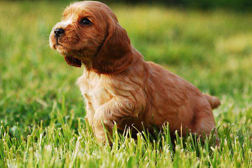 Puppy, Dog, Doggy, Gold, Cocker Spaniel English