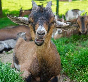 Goat, Domestic Goat, Dwarf Goat, Cute, Animal, Creature