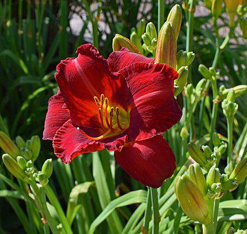 Red-orange Daylily, Lily, Close-up, Bud, Flower