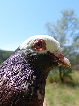 Paloma, Eye, Vol Catalan Colom, Montsant, Pigeon Racing