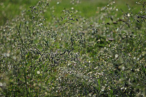 Grass, Dew, Dewdrop, Drop Of Water, Meadow, Plant