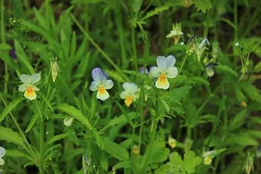 Flowers, Russia, Makrosemka, Tatarstan, Grass, Plant