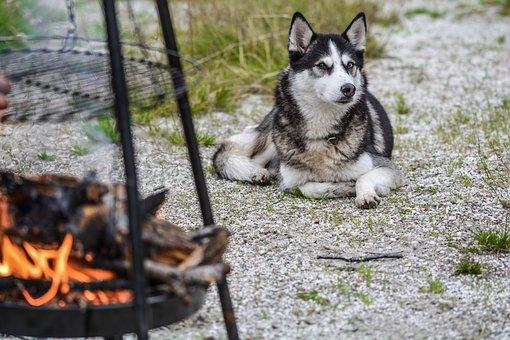 Dog, Husky, Animal, Pet, Cute, Friend, Siberian, Nature