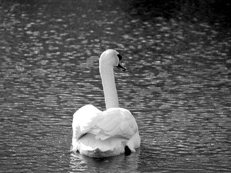 Animals, Birds, Swan, Four Country, Elbe - Dove