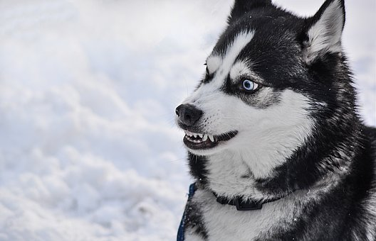 Dog, Angry, Teeth, Danger, Breed, Animal, White, Mammal