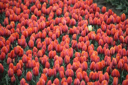 Tullips, Red, White, Dare To Be Different