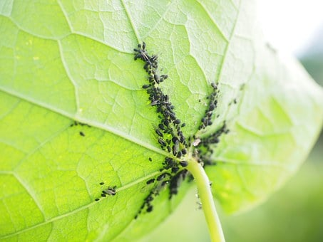 Lice, Leaf, Vermin, Aphids, Aphidoidea, Plant Lice